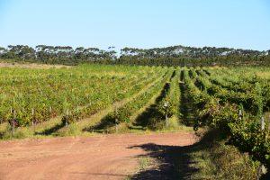 Weinreben in Südafrika vom Wein-Shop Cranefields