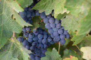 Weintrauben vom Rotwein im Wein-Shop Südafrika