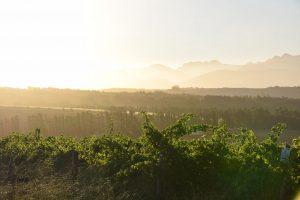 Weinreben vom Weingut Cranefields in Südafrika