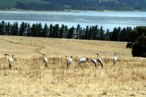 Paradieskranich blue crane Cranefields