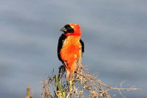 Red Bishop Cranefields
