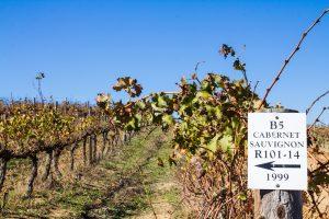 Cabernet Sauvignon in Südafrika auf dem Weingut Cranefields